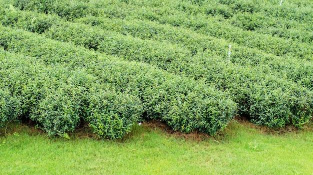 Plantage des grünen tees bei chiang rai, thailand.