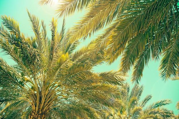Plantage von dattelpalmen in israel. schöne natur