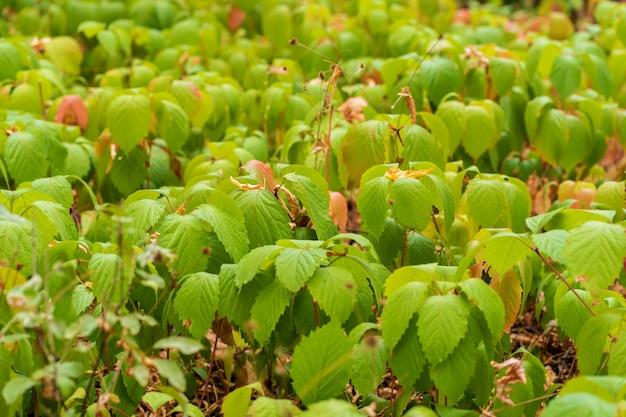 Plantage von jungen wilden trauben. grüne blätter