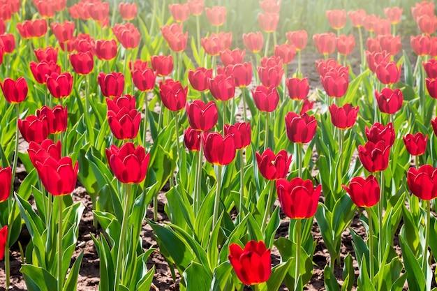 Plantage von roten tulpen an einem sonnigen tag. blumenhintergrund der roten tulpen_