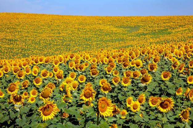Plantage von sonnenblumen mit einem tag des blauen himmels