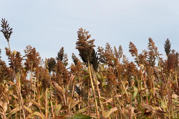 Plantage von sorghum in den ausläufern der berge