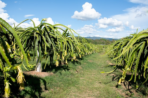 Plantagen-drachefrucht auf garten, rohe pitaya-frucht auf baum