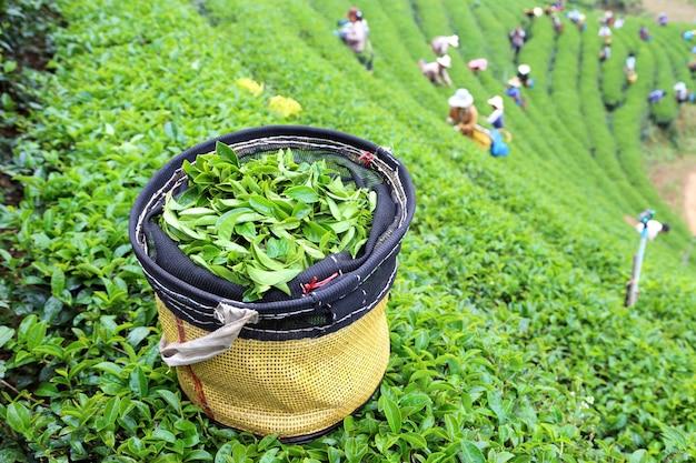 Plantagenlandschaft des grünen tees in thailand