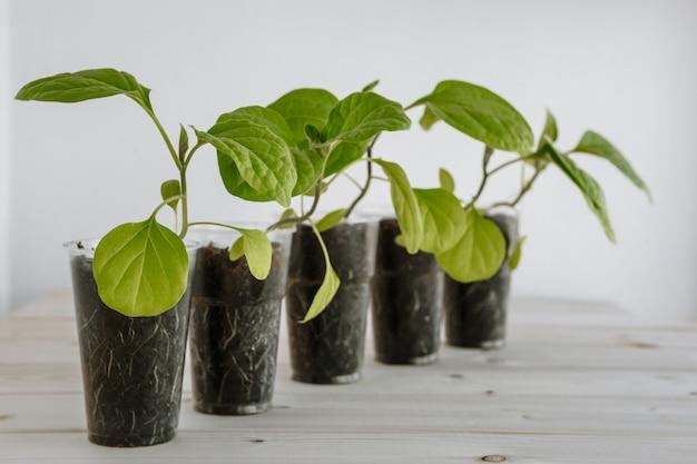 Plastikbecher mit erde, der junge grüne auberginen für setzlinge enthält. junge setzlinge werden auf eine holzoberfläche gelegt
