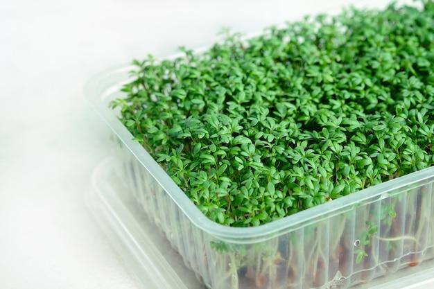 Plastikbox mit wachsenden mikrogrüns der brunnenkresse