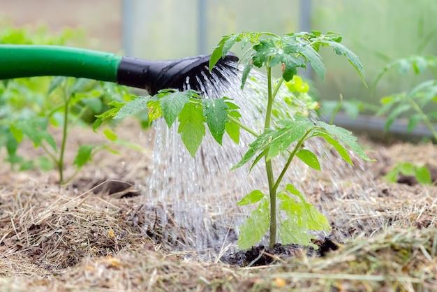Plastikstreusel oder trichter, die tomatenpflanze im gewächshaus gießen.