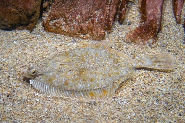 Plattfisch - pleuronectidae, fisch, der unter dem sand auf dem meeresboden liegt.