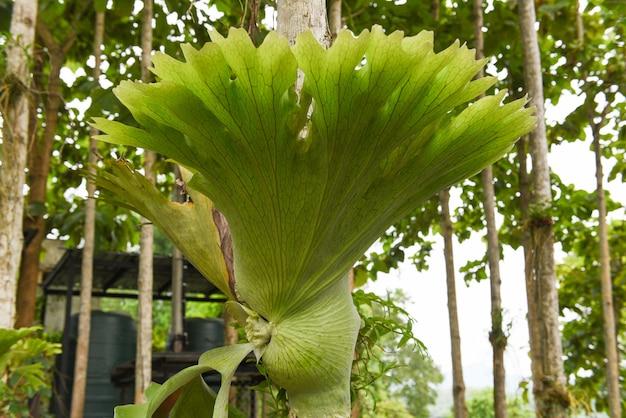 Platyceriumfarne pflanzen hirschhorn- oder elchhornfarn, der auf astbaum wächst