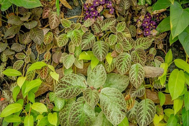 Plectranthus scutellarioides oder coleus ist eine blühende pflanzenart aus der familie der lamiaceae und eines der traditionellen kräuterheilmittel