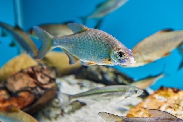 Plötze oder rutilus von der karpfenfischfamilie im öffentlichen aquarium in der stadt von st. petersburg in russland.