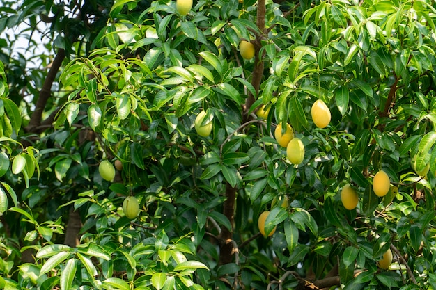 Plum mango-fruchtsommer. gelbe farbe teuer aber lecker.