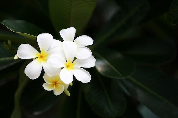 Plumeria blüht auf dem baum, nahaufnahme