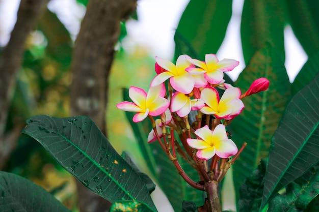 Plumeria ist eine art blühender pflanzen in der familie der hundsgans