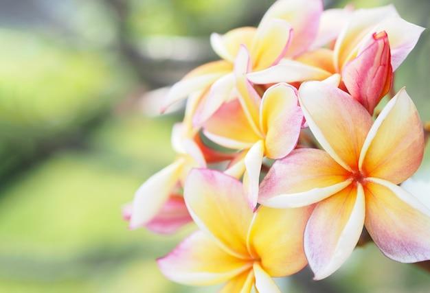 Plumeria oder frangipani blüht im garten