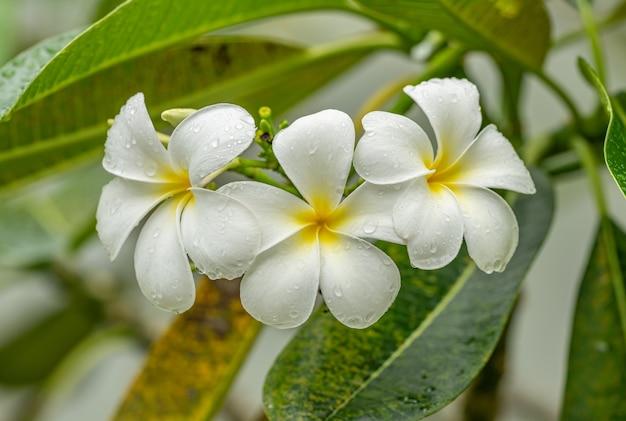 Plumeria oder frangipani blüten