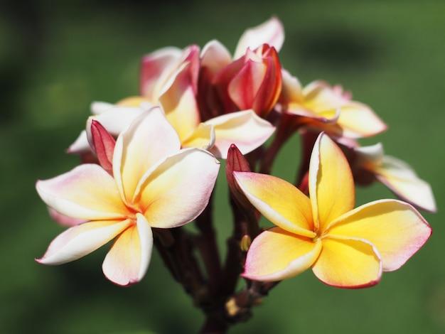 Plumeria- oder frangipani-blüten