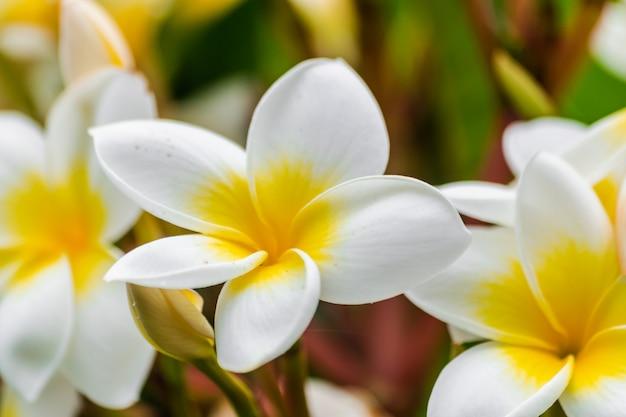 Plumeria rubra-blumen, die mit grünen blättern blühen