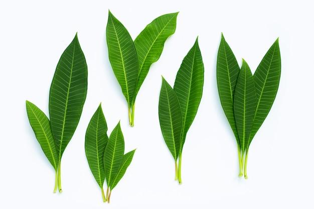 Plumeriablätter auf weiß