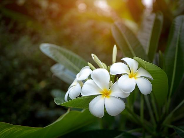 Plumeriablume mit sonnenuntergang