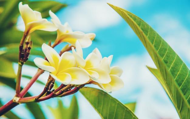 Plumeriablumen, die gegen den himmel blühen. tiefenschärfe.