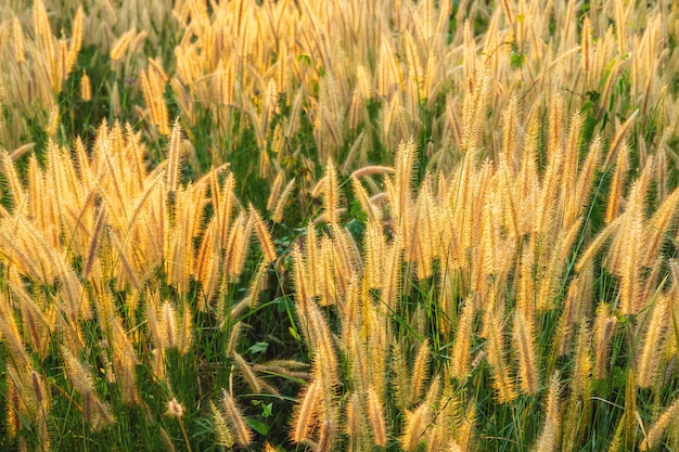 Poaceae grass flowers field und poaceae