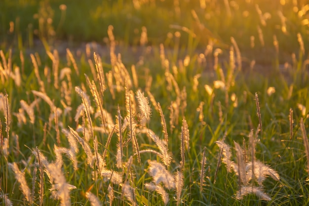 Poaceaegrasblume. imperata cylindica (l.) p. beauv, poaceae (gramineae) in den strahlen des aufgehenden sonnenuntergangs.