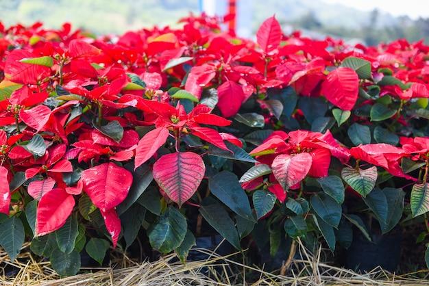 Poinsettia-weihnachtstraditionelle blumendekorationen frohe weihnachten - rote poinsettia im gartenfeierhintergrund