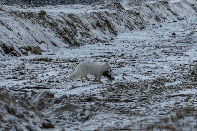 Polarfuchs im winter gefunden gestorbenen vogel.