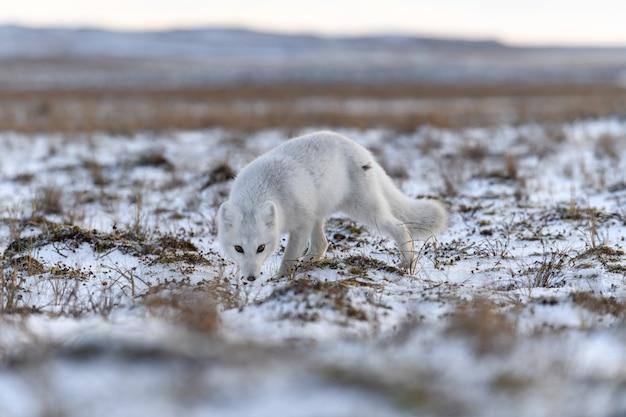 Polarfuchs im winter in der sibirischen tundra