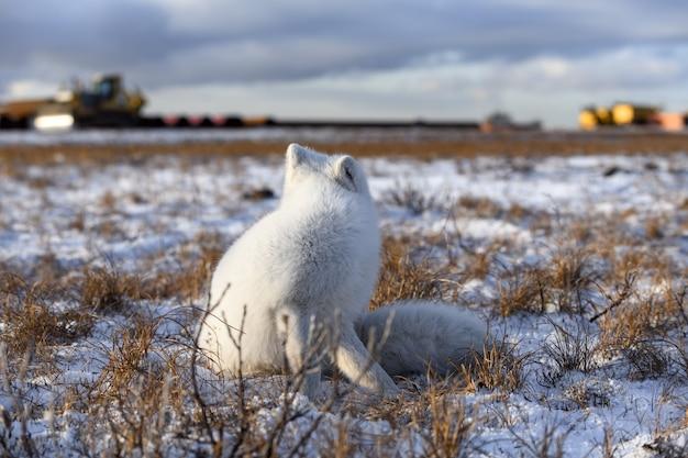 Polarfuchs in der winterzeit in der sibirischen tundra mit industriellem hintergrund.