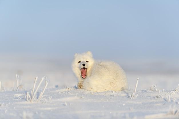 Polarfuchs (vulpes lagopus) in der wilden tundra. polarfuchs gähnt.