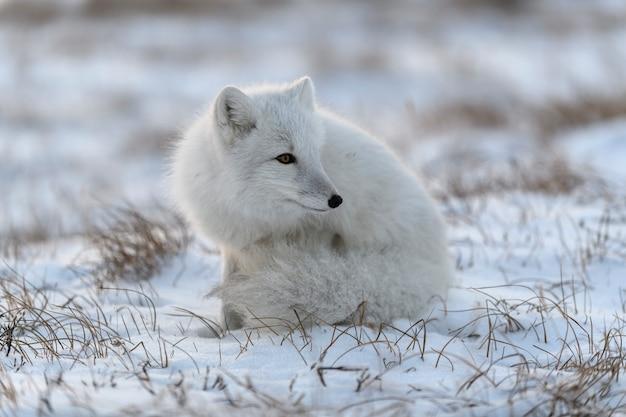 Polarfuchs (vulpes lagopus) in der wilden tundra. polarfuchs sitzend.