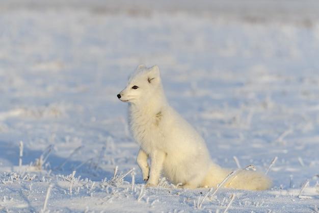 Polarfuchs (vulpes lagopus) in der wilden tundra. polarfuchs sitzt.