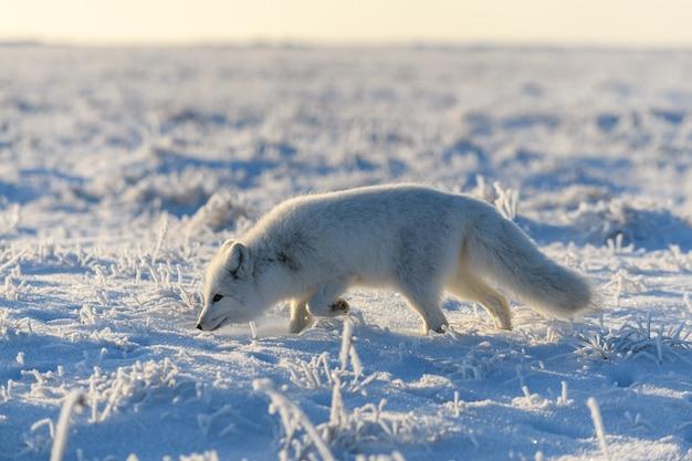 Polarfuchs (vulpes lagopus) in der wilden tundra. polarfuchs stehend.