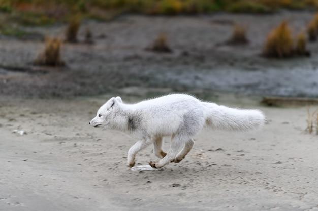 Polarfuchs (vulpes lagopus) in wilder tundra. polarfuchs am strand.