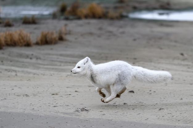 Polarfuchs (vulpes lagopus) in wilder tundra. polarfuchs läuft.