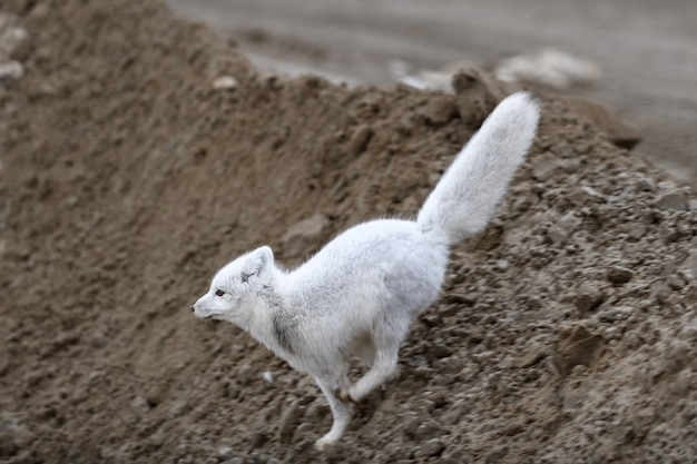 Polarfuchs (vulpes lagopus) in wilder tundra. polarfuchs springen.