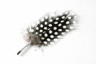 Polkadot feather close up soft
