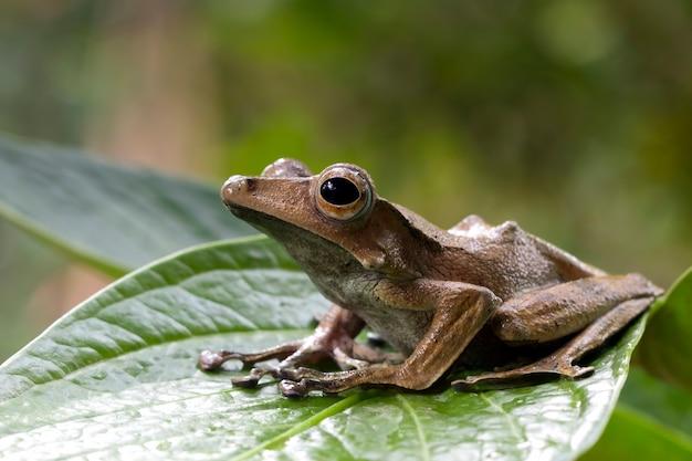Polypedates otilophus sitzt auf grünen blättern