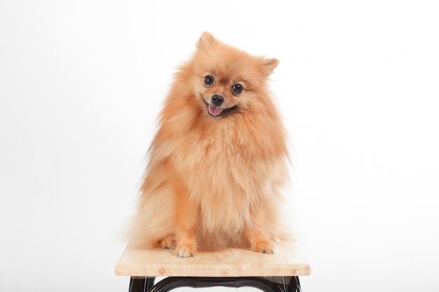 Pomeranian-hund, der auf der stuhlatelieraufnahme lokalisiert auf weiß lächelt
