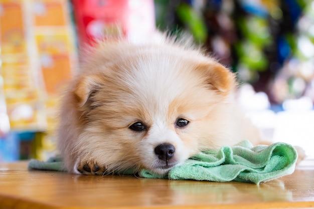 Pomeranian hund, der vorwärts schaut