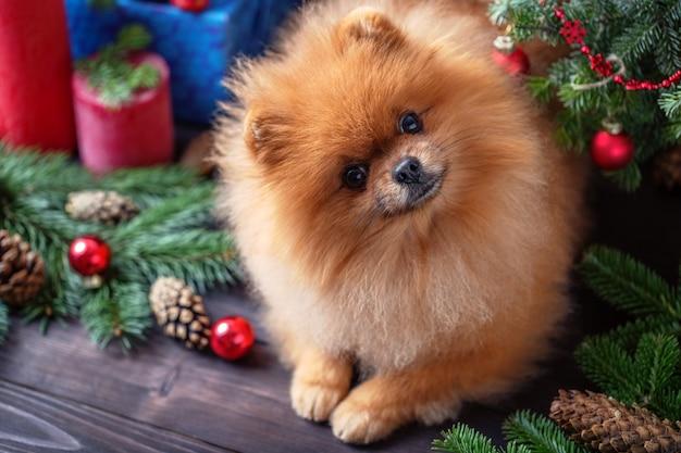 Pomeranian-hund in den weihnachtsdekorationen auf dunklem hölzernem hintergrund