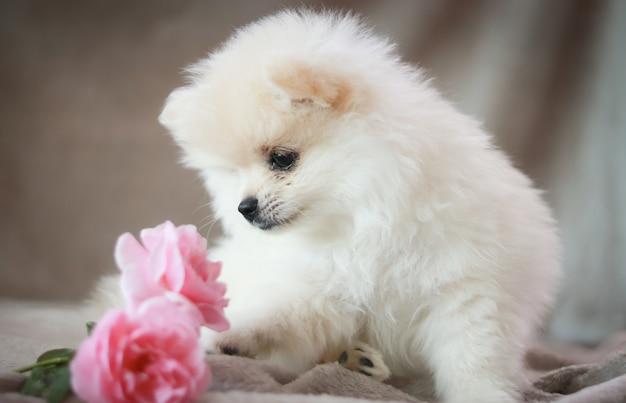 Pomeranian hund und welpe, die beim lügen auf dem boden aufpassen und anstarren