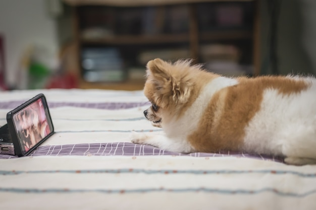 Pomeranian-hundeaufpassender smartphone auf dem bett