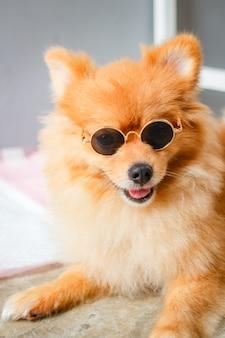 Pomeranian hundelächeln so niedlich.