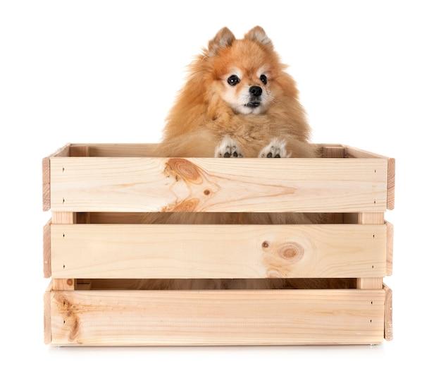 Pomeranian im studio