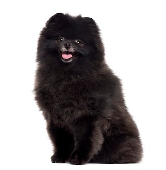 Pomeranian schaut in die kamera und streckt die zunge isoliert auf weiß heraus