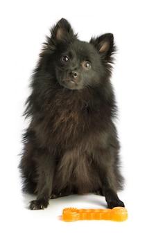 Pomeranian schwarzer hund, der vor einem orange spielzeug sitzt