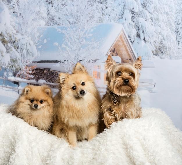 Pomeranian, spitz und yorkshire terrier sitzen zusammen in der winterszene